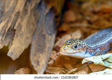 one lizard varan creeps from the shelter with an open eye