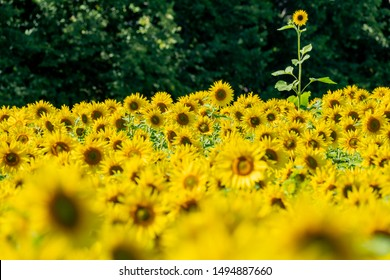 One lone sunflower standing out in a field of blooming flowers. Concept for standing out in a crowd