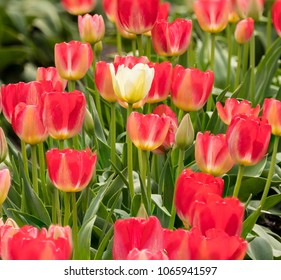 One Lone White Tulip Standing out in a Field of Red and Pink Tulips