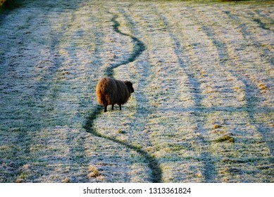 One lonely brown sheep is standing in a field that is coated with morning frost.  His trampled path creates a dark green wavy line in the frost.