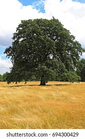 One lonely deciduous tree at yellow meadow