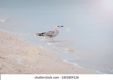 One lonley seagull standing on the bank of Azove sea