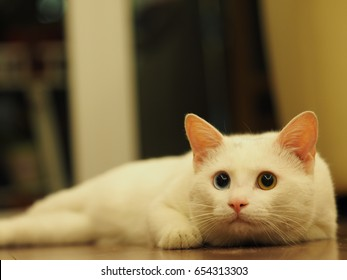 One lovey white cat with the different color eyes