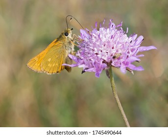 One Lulworth skipper (Thymelicus acteon) foraging a flower