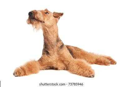 One lying Black brown Airedale Terrier dog isolated on white