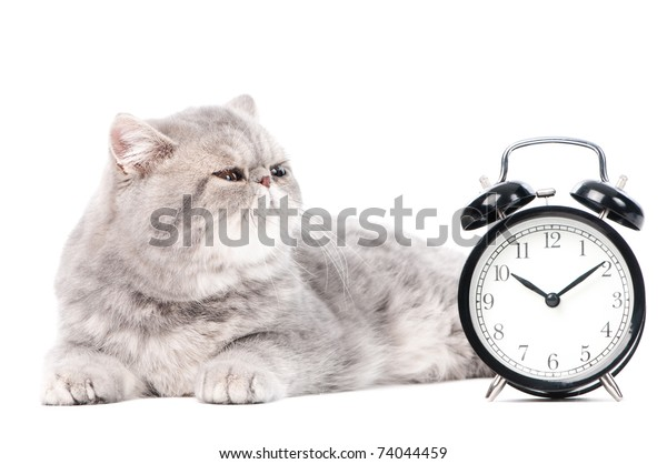 One lying grey exotic shorthair kitten cat isolated on white with clock