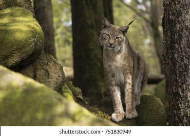 One lynx lynx