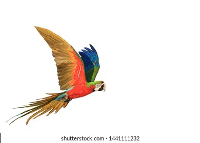 One macaw parrot is flying ,white background.