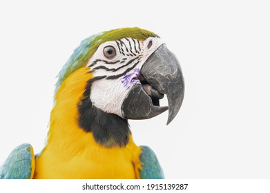 One macaw parrot isolated on white background