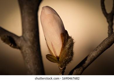 eine magnolienrosa Knospenblumen, Nahaufnahme einzeln und unscharfer und brauner Hintergrund