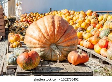 one main biggest vegitable in front of diferent pumpkins