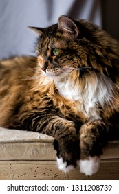 One maine coon calico cat resting on chair indoors inside house looking through window side portrait profile vertical view with breed neck mane or ruff