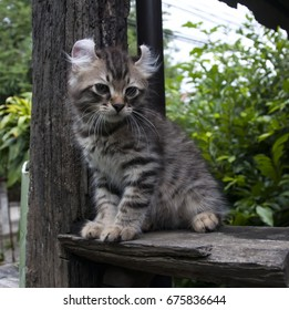 One male American Curl Brown / Chocolate spotted tabby kitten sitting on shelf ledge outdoors looking alert.