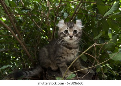 One male American Curl Brown / Chocolate spotted tabby kitten sitting on a tree stump outdoors.