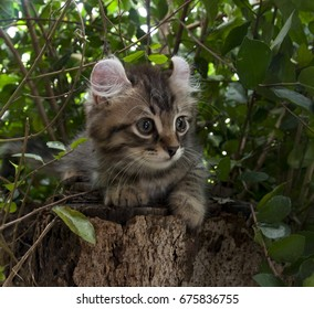 One male American Curl Brown / Chocolate spotted tabby kitten sitting on a tree stump outdoors looking alert.