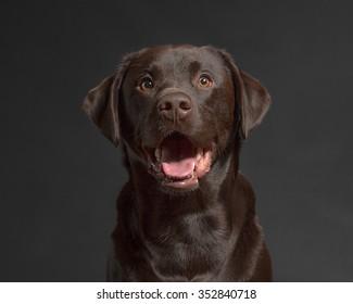 One male Chocolate Labrador Retriever dog portrait black background