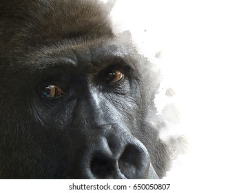 One male mountain gorilla observes the camera attentively at a zoo, close-up partial isolated with soft contour on white background