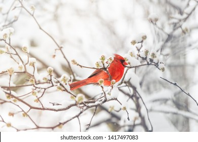 One male northern cardinal Cardinalis bird or redbird perched on tree branch during winter snow in northern Virginia with red beak and flower buds