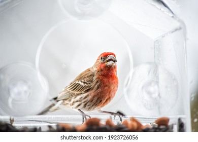 One male red house finch bird sitting perched closeup on plastic glass window feeder during heavy winter snow colorful in Virginia