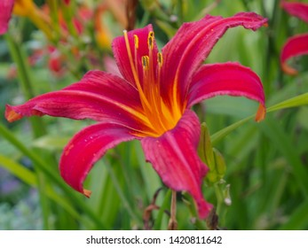 One of many cultivars of the tawny daylily (lat. Hemerocallis fulva), with brilliant red color of the flower.  Close-up.