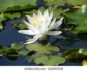 One of many water lilies that speckle a small east Texas pond