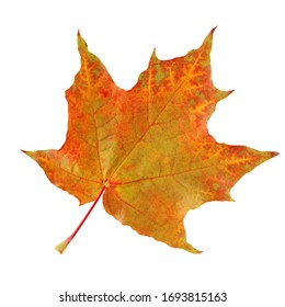 one maple leaf, isolated on a white background. red and yellow autumn leaves. Foliage, herbarium.