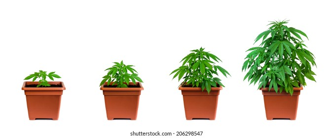 One marijuana plant in four growing phases