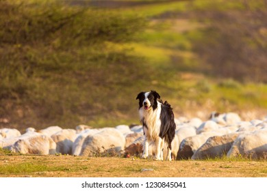 One mature border collie with herd of sheep