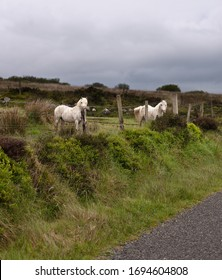 One May early morning two white horses come down from a sloping pasture on Slievenaglogh to view an interloper taking photographs.  Slievenaglogh Townland, County Louth, Ireland.