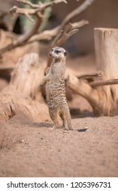 One meerkat in a zoo.