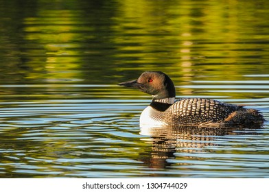 One Minnesota common loon bird swimming in lake. Tuxedo pattern animal