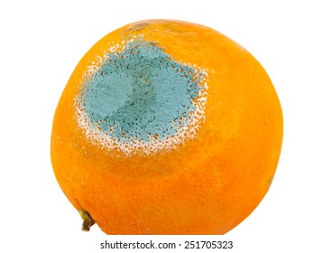 One moldy and rotten orange isolated on a white background