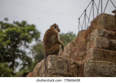 One monkey sits and looks around sometimes to the camera. Sigiriya wild jungle