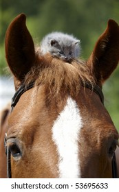 One month old grey kitten on the horse