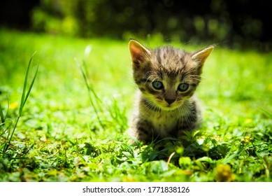one month old tabby kitten in the green grass