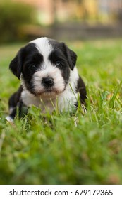 One month old Tibetan Terrier puppy looking at camera