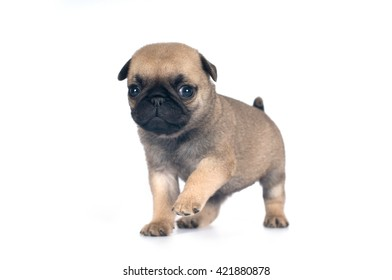 One month pug puppy beige color isolated on white