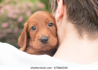 One months old pure breed red irish setter puppy sitting in hands and hugging