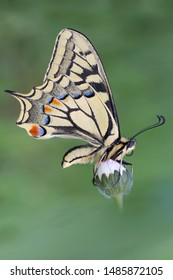 One of the most beautiful butterflies on Earth, the Old World Swallowtail (Papilio machaon)