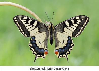 One of the most beautiful butterflies in the world, the Swallowtail (Papilio machaon)