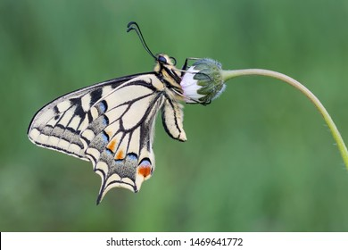 One of the most beautiful butterfly of the Earth, the Old World swallowtail (Papilio machaon)