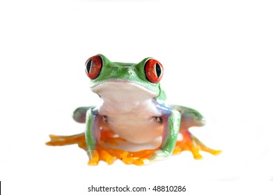 one of the most beautiful creatures on planet earth:the red eyed tree frog (agalychnis callidryas)