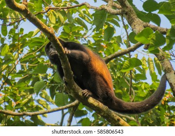 One of the most common monkeys in Costa Rica. The Mantled howler or golden-manted howling monkey