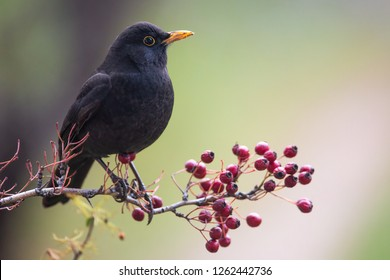 One of the most familiar birds in parks and gardens of Europe, the common blackbird. This one is perched on a hawthorn branch with some red fruits.