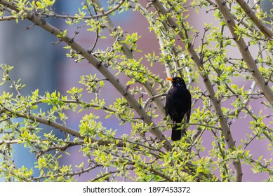 One of the most familiar birds in parks and gardens of Europe, the common blackbird.