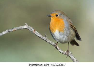 One of the most known birds in gardens and parks: the likeable robin. This one is the european species.