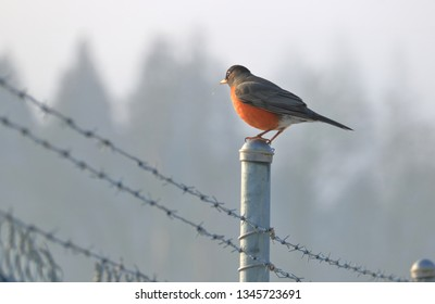 One of the most recognizable birds as a red breasted Robin stands on a metal fence in the early morning.