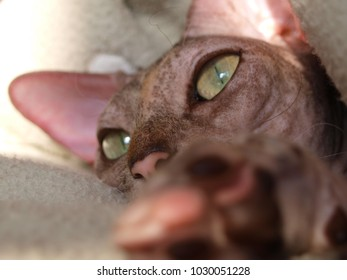 One naked cat without hair, green eyes, big ears, mustache lies in the rays of the sun in blanket and not looking at the camera