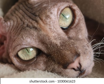 One naked cat without hair, green eyes, mustache looking at the camera, in focus