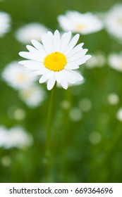 One nice daisy in a large field blurred